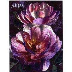 3635 Pink & Purple Roses