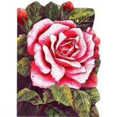 4086 Red Rose